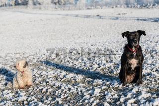 Schwarzer und weisser Hund sitzen uninteressiert im Schnee