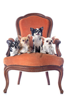 antique chair and chihuahuas