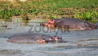 Flusspferde im Nil im Murchison Falls Nationalpark Uganda (Hippopotamus amphibius) | Hippos in the Nile at Murchison Falls National Park Uganda (Hippopotamus amphibius)