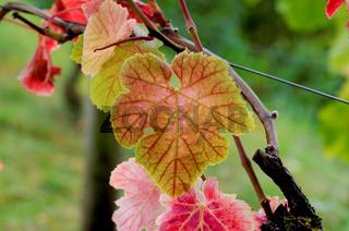 Herbstblatt einer Weinrebe am Rhein