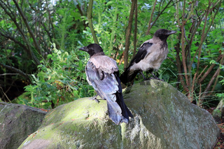 Two Young Crows in Natural Environment
