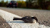 Half-dead tit hit by a car on the road