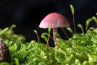 Kleiner Violetter Lacktrichterling im Moos auf dem Waldboden vor dunklem Hintergrund