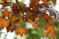 Maple tree with orange leaf in autumn