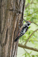 Mittelspecht, Dendrocopos medius, Middle spotted woodpecker