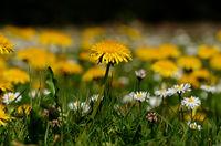 Löwenzahn und Gänseblümchen auf einer Frühlingswiese vom Boden aus gesehen