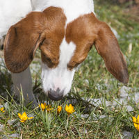 Beagle begegnet dem Frühling