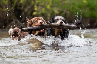 zwei Hunde im Wasser mit einem Ast