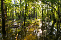 Flooded forest with water standing among trees and sun shining