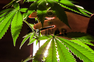 Backlit studio shoot with cannabis plant leaves