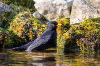 Male blackbird taking a bath in the pond