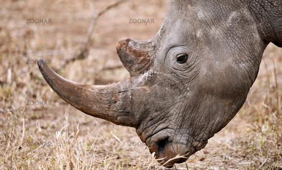 Breitmaulnashorn im Kruger Nationalpark, Südafrika, white rhinoceros, South Africa