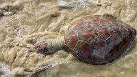 This sea turtle - Loggerhead turtle (Caretta caretta) is dying now as result of pollution of sea