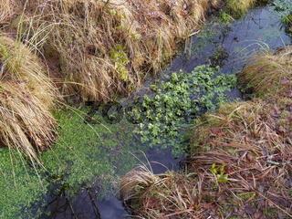 Kleine Wasserlinsen / Lemna minor L.