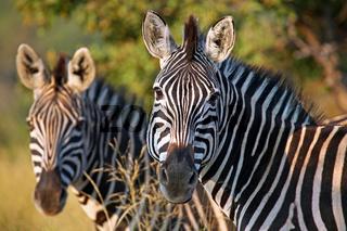 Steppenzebras im Marakele Nationalpark, Südafrika, South Africa, Plains Zebras, Perissodactyla, Equus quagga