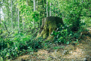 Old tree stump overgrown with fresh green moss in the woods. Forest,ecology and timber concept.