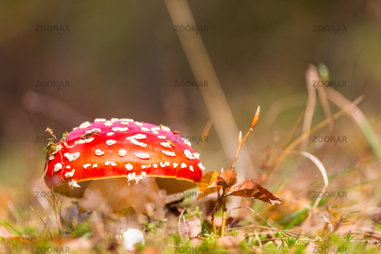 Spotted toadstool