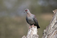 speckled pigeon sitting on a dry branch by the lake
