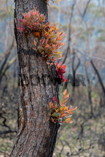 Epicormic leaf growth from a burnt tree trunk triggered after bush fires in Australia