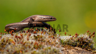 Front view of a European copper skink, ablepharus kitaibelii