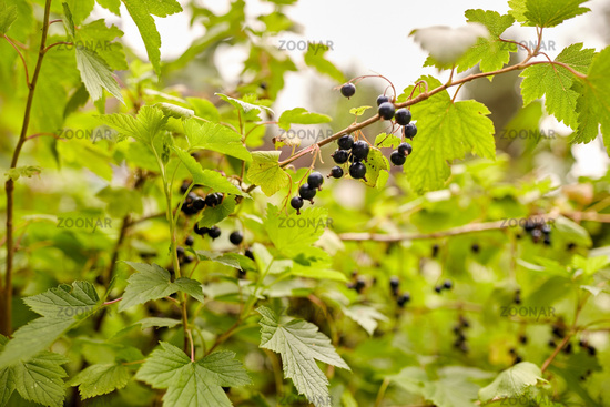 black currant bush with ripe berries at garden