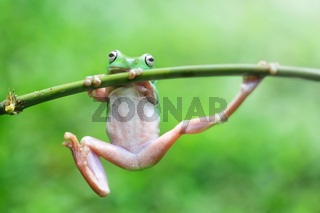frogs, tree frogs, dumpy frogs in tree branches