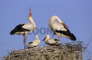 Weiss-Storch