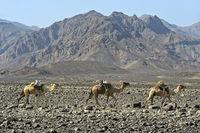 Dromedar-Karawane der Afar Nomaden in der Danakil Depression, Äthiopien