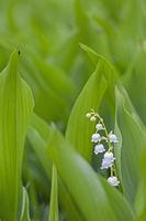 Maigloeckchen waechst oft in dichten Bestaenden auf dem Waldboden / Convallaria majalis