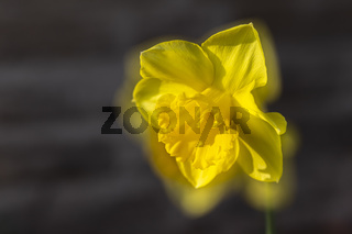 Gelbe Narzisse, wild daffodil