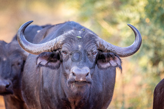Big male African buffalo starring at the camera.