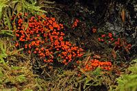 Rotkoepfiger Schleimpilz (Trichia decipiens)