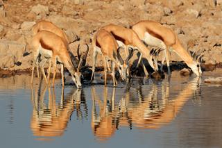 Springbok antelopes at waterhole