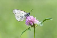 Baum-Weissling, Aporia crataegi, Black-veined White butterfly