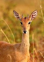 Oribi im Murchison Falls Nationalpark Uganda (Ourebia ourebi) | Oribi, Murchison Falls National Park Uganda (Ourebia ourebi)
