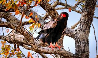 Gaukler, Kruger Nationalpark, Südafrika, wildlife, bateleur eagle, Terathopius ecaudatus, Kruger NP, South Africa