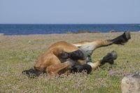 Braunes Pferd im Naturreservat  Morups Tange