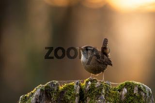 Little eurasian wren sitting on tree stump in spring sunset