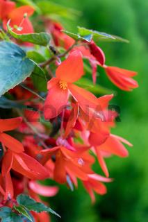 Vivid Red Flowers of Begonia boliviensis