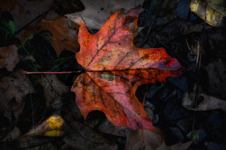 Fall Foliage: Closeup of a bright red autumn leaf on a dark forest floor in the rain.