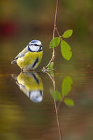 Cute eurasian blue tit sitting in water about to drink or bathe