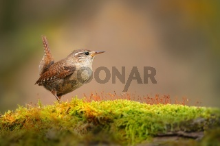 Little eurasian wren sitting on moss in autumn nature.