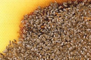 Viele Bienen im Stock