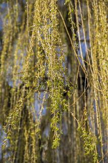 Zweige, Blaetter und Blueten einer Trauerweide im Fruehling