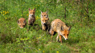 Red fox female and her four cubs hunting and walking in summer forest
