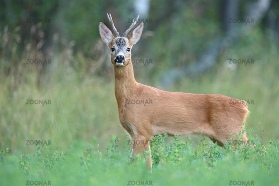Interested roe deer buck facing camera in summer nature