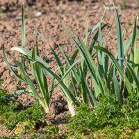 Lauch und Petersilie wachsen in einem frisch angelegten Gartenbeet vor braunem Hintergrund