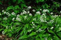 Baerlauch im Laubwald, allium ursinum