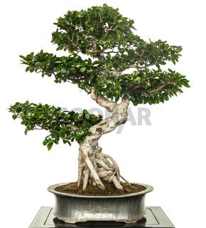 Feige als Bonsai Baum