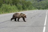 Hungry Kamchatka brown bear walks along an asphalt road